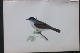 Morris 1870 Antique Bird Print. Blackcap